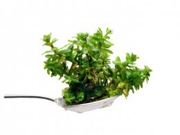 10. Ammania sp BONSAI rotala porcja in vitro