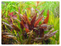 Cryptocoryne Wendtii Brown kubek 5cm in vitro