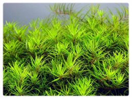 14. Limnophila sp Vietnam MINI in vitro 10szt