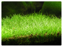 Eleocharis sp. Mini Ponikło kubek 5cm in vitro