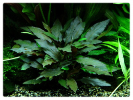 92. Cryptocoryne Beckettii var. Petchii in vitro