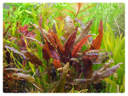 Cryptocoryne Wendtii Brown kubek 10cm in vitro