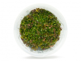 Rotala Rotundifolia 'Red' kubek 10cm in vitro