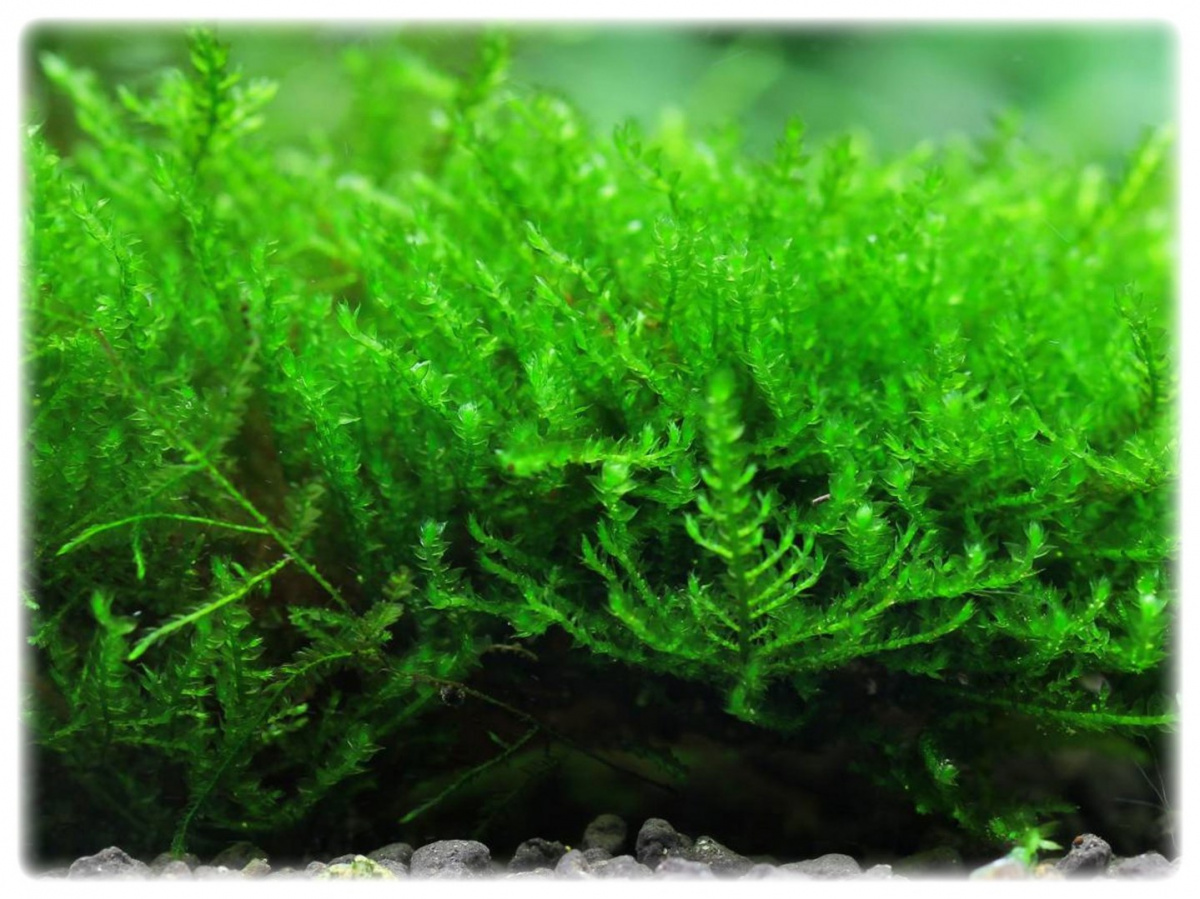 150. Mech Creeping moss in vitro porcja 10szt